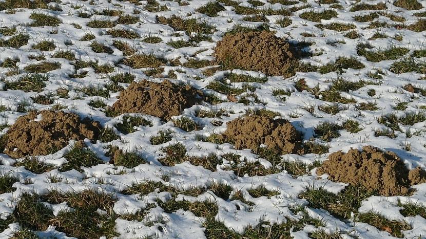 Co dělá mírná zima se zahradou: krtci usilovně pracují celou zimu