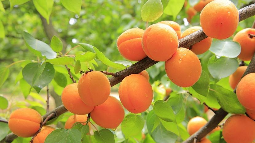 Předpověď počasí a zahrada: meruňky snad letos budou