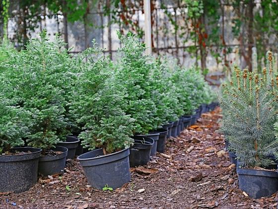 Vánoční stromek nekupujte, vypěstujte si ho v květináči (Zdroj: Depositphotos)