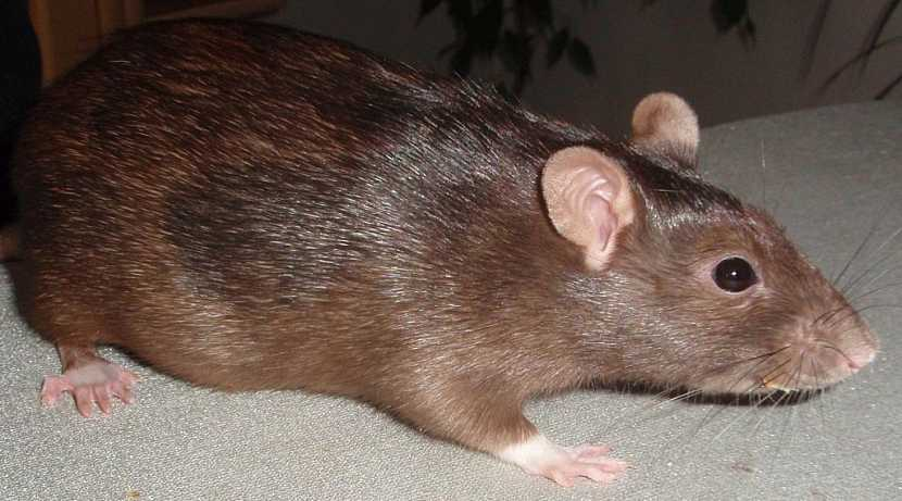 Potkan je silně vázaný na lidská obydlí