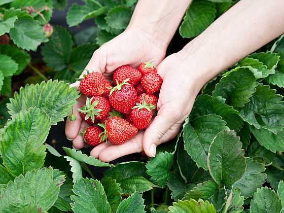 Jahody jsou jedním z nejzdravějších druhů ovoce (Zdroj: Depositphotos)