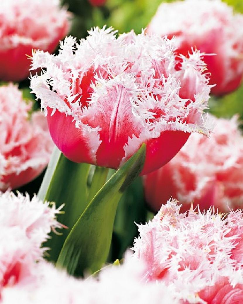 """Tulipán """" Queensland"""""""