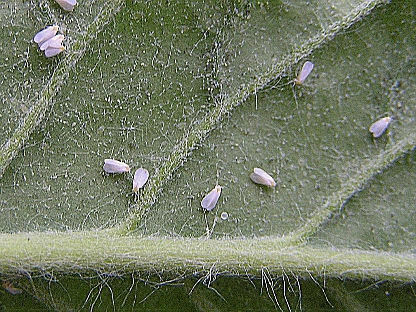 Rostlina napadená molicemi