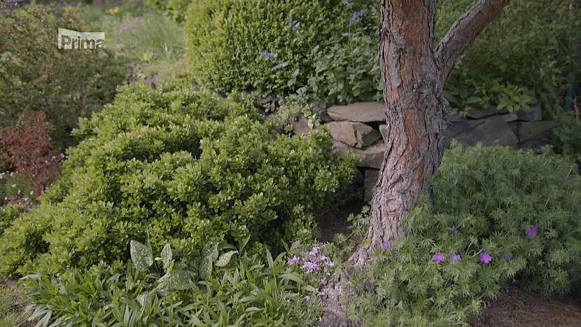 Volnou plochu pod stromy a keři osadíme vhodně vybranými trvalkami