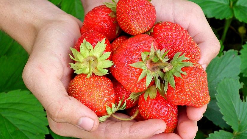 Předpověď počasí a zahrada: pečujte o dozrávající jahody