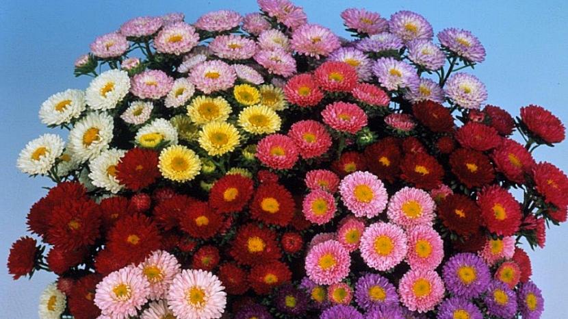 Astra čínská Matsumoto vyniká širokou škálou barev květů