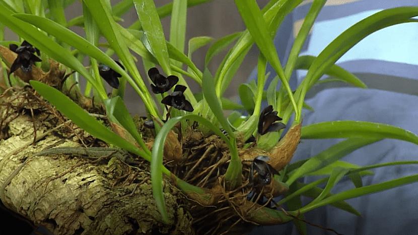 Chladnomilná černá orchidej