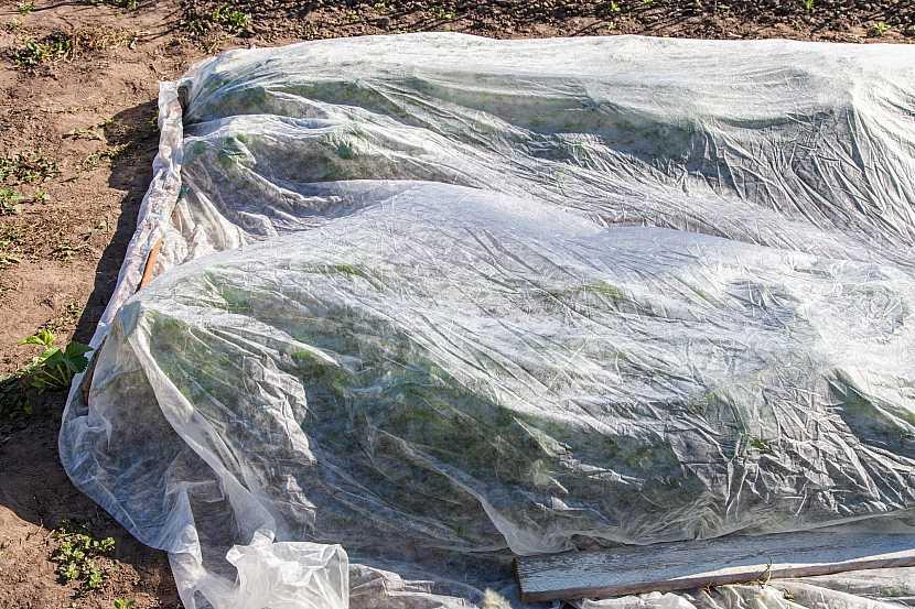 Ochrana jahodníku netkanou textilií