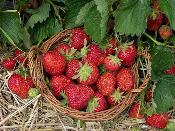Jahody, naše sladké červené potěšení
