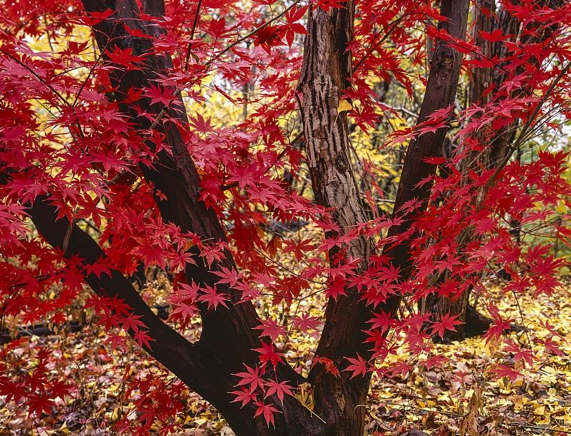 Podzimní listy javorů
