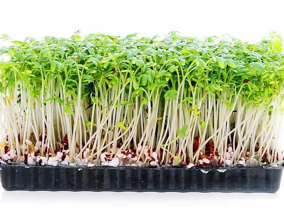 Pěstování řeřichy: na vatě nebo v substrátu? (Zdroj: Depositphotos)