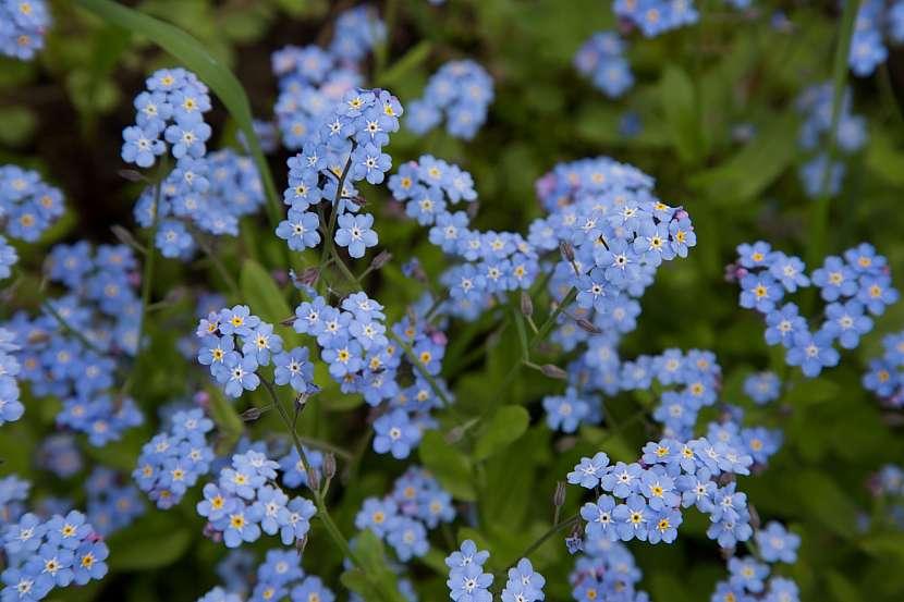 Pomněnky jsou proslavené svojí nádhernou modrou barvou
