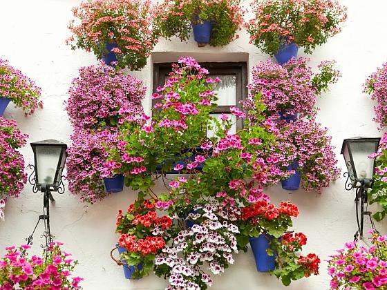 Množení pelargonií v bytě, ve skleníku a zimní zahradě