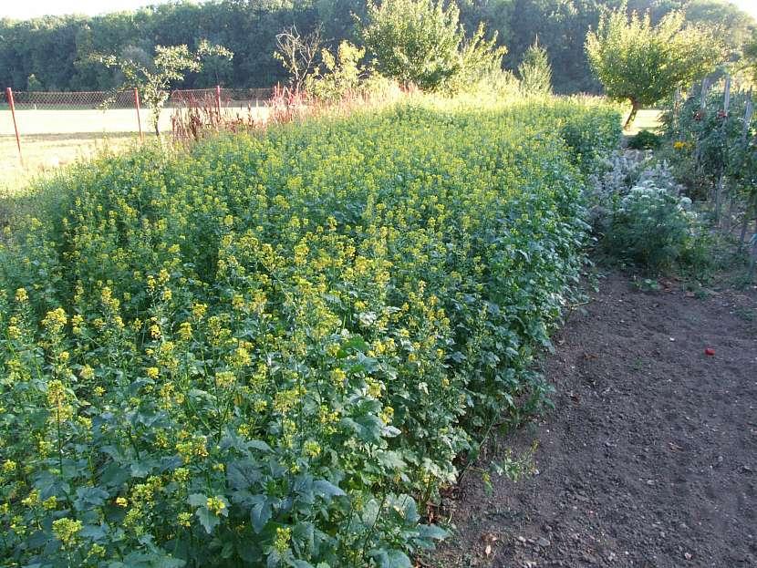 Zelené hnojení - řepka