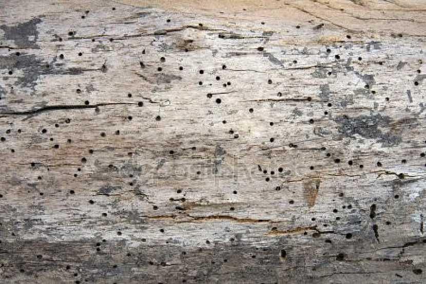 Vykousané otvory ve dřevě od červotoče