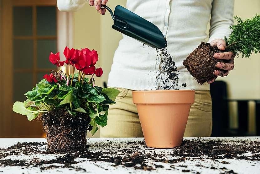Přesazení rostliny