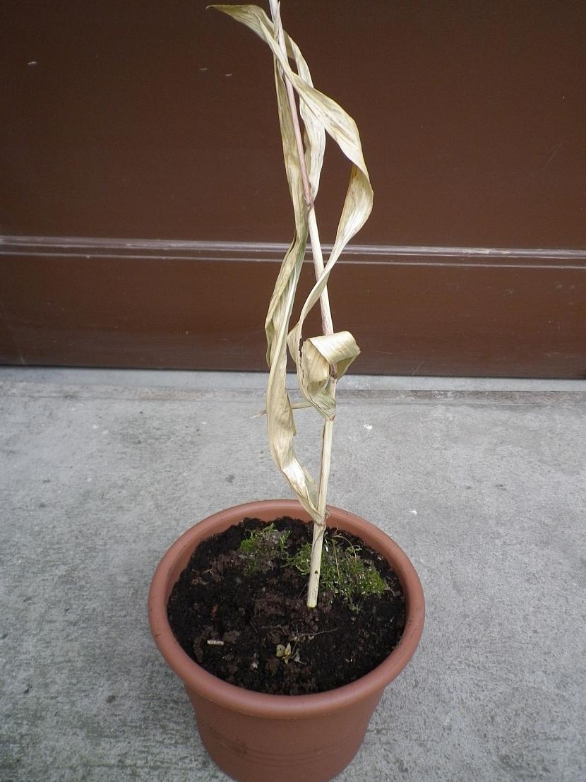 Usychající rostlina zázvoru vhodná ke sklizni