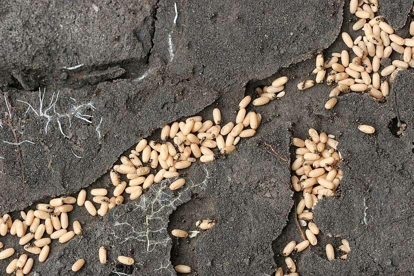 Hnízdo mravenců