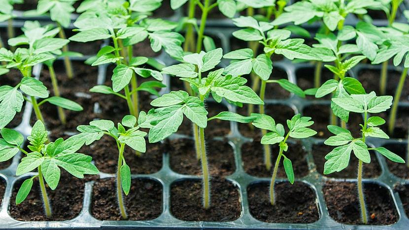 Jak si doma předpěstovat sazenice rajčat 4