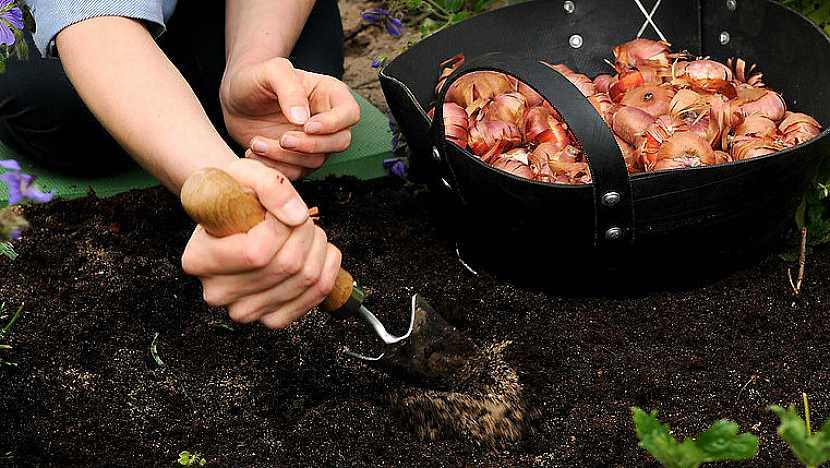 Jak a kdy zasadit gladioly: Chcete-li se radovat z květů postupně, vysazujte hlízy na etapy 3