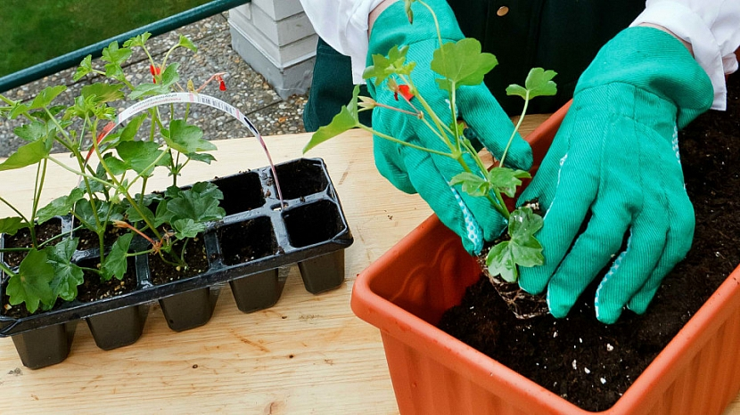 Sázení muškátů: do substrátu vložte rostlinku