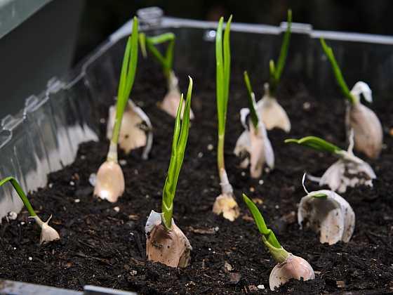 Pěstování česneku vdomácích podmínkách (Zdroj: Depositphotos)