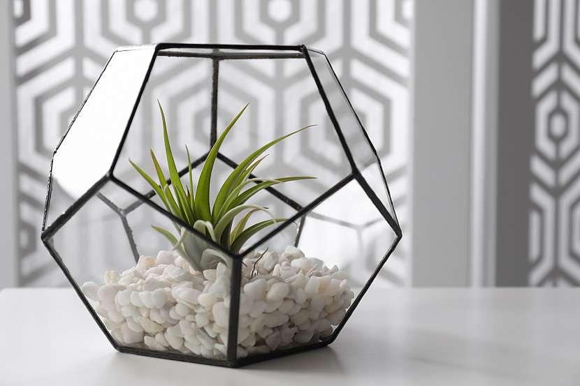 Vzdušné rostliny mají rády rozptýlené sluneční světlo a teplo, dařit se jim proto bude mimo jiné i v teráriích