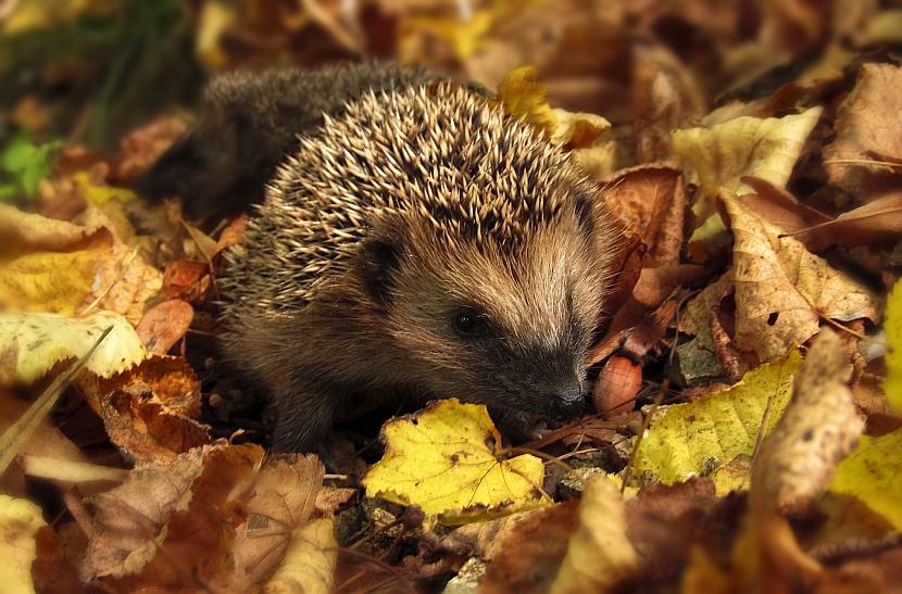 Listopad v zahradě: nezapomínejte na ježky
