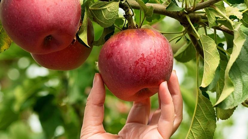 Jak poznáte, kdy jsou jablka zralá: snadno oddělíte stopku od plodné větévky