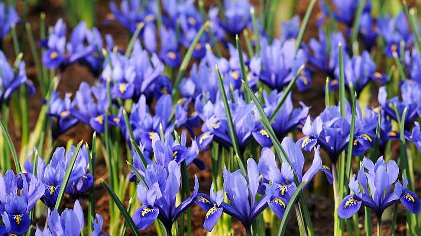5 nejkrásnějších jarních cibulovin s modrými květy: kosatec síťkovaný (Iris reticulata)