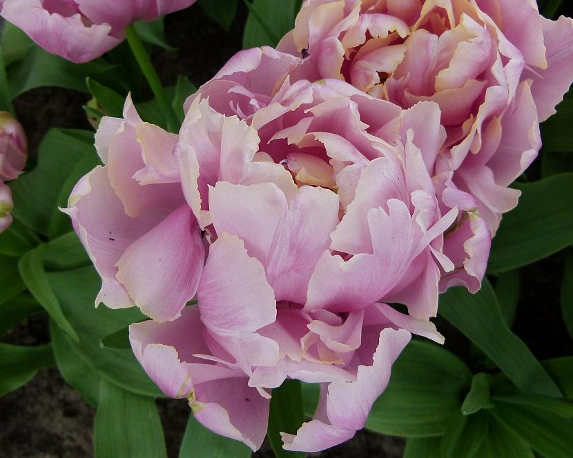 Jak na jaře pečovat o skutečné krále jarní zahrady: Tulipány 5