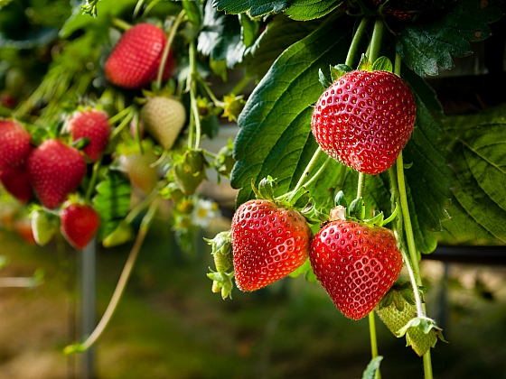 Připravte se včas na jahodovou sezonu (Zdroj: Depositphotos)