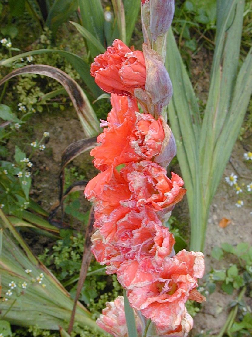 Třásněnky na okrasných rostlinách a zelenině