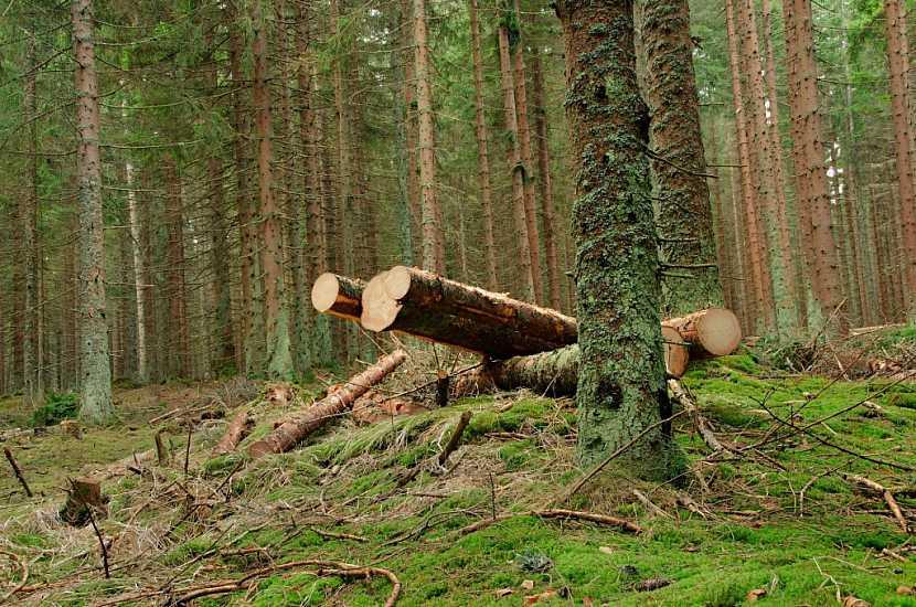 Nejhorší variantou je nechat dřevo napadené kůrovcem volně ležet v lese, kde postupně zetlí