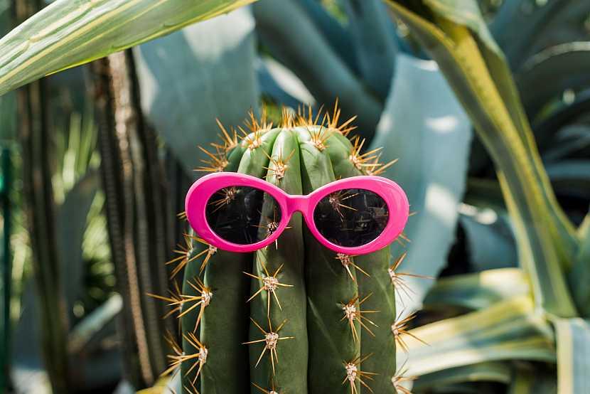 Kaktus s brýlemi