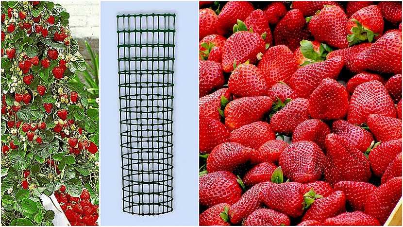 Jak vypěstovat čisté jahody: Drátěný sloup