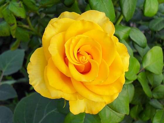 5 nejčastějších nemocí růží a jak s nimi zatočit? (Zdroj: Depositphotos)