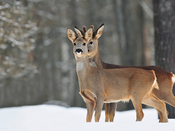 Zabraňte zvěři poničit v zimě stromy a keře na zahradě
