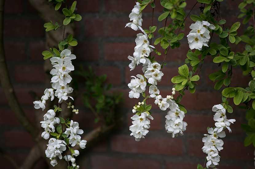 hroznovec- detail kvetu 2