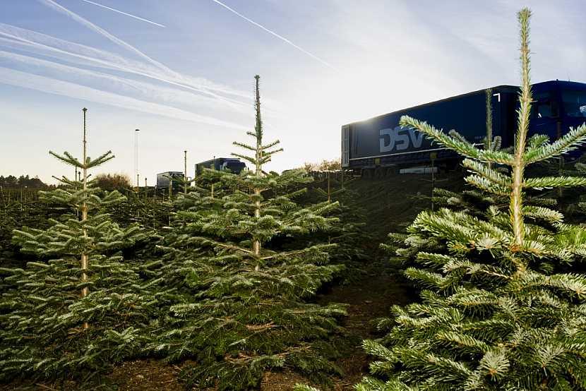 Kavkazská jedle - nejoblíbenější vánoční strom českých domácností