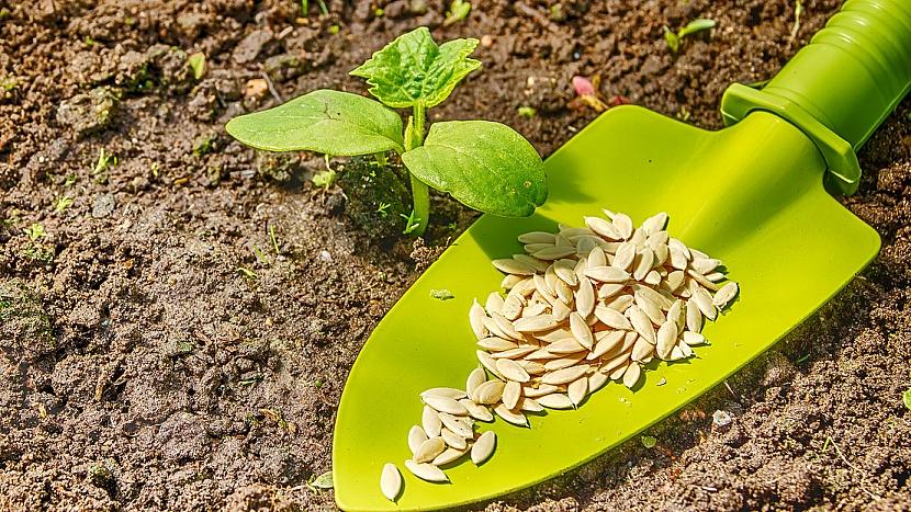 Jak pěstovat okurky: 2