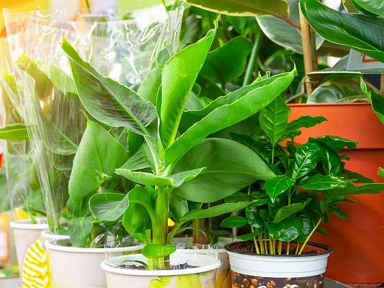 Víte, že si své vlastní banány můžete vypěstovat i doma v obýváku? Poradíme vám jak na to (Zdroj: Depositphotos (https://cz.depositphotos.com))