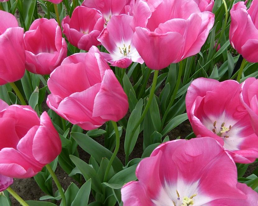 Jak na jaře pečovat o skutečné krále jarní zahrady: Tulipány 4