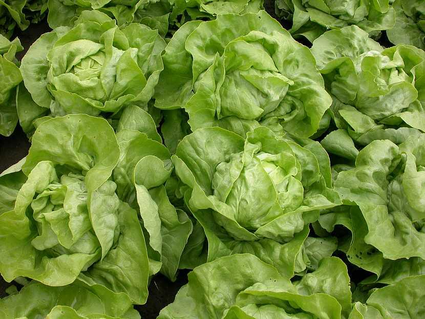 Jak pěstovat hlávkový salát: doba od vysazení do sklizně je vprůměru 3 měsíce.