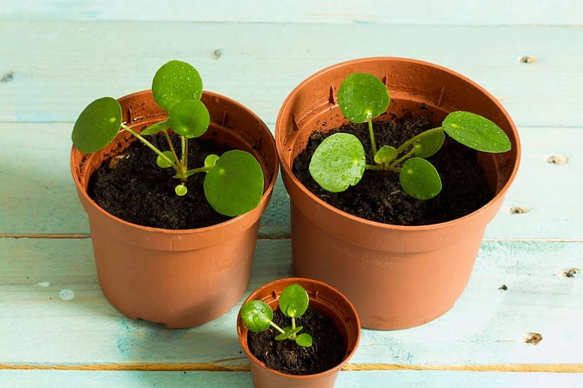 Mladé rostliny palačinkové květiny