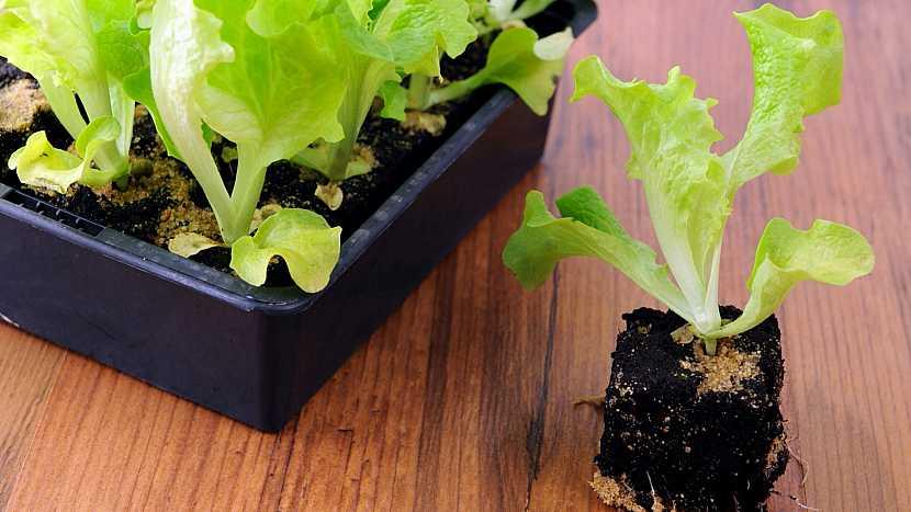 Výsadba sazenic hlávkového salátu