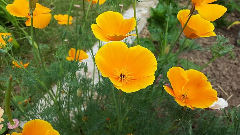Sluncovka kalifornská (Aschscholtzia californica)