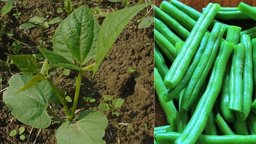 Předpověď počasí a zahrada: zasejte keříčkové fazolky