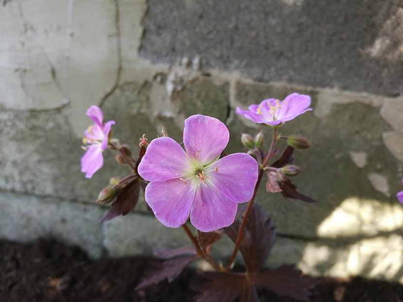 Kakost skvrnitý (Geranium maculatum)