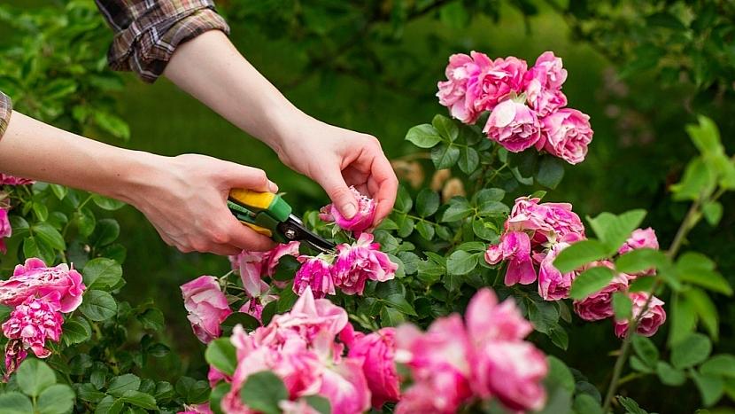 Předpověď počasí a zahrada: u mnohokvětých růží stříháme po odkvětu celé květenství nad prvním vyvinutým listem